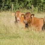 Hobbs Parker Cattle Sales