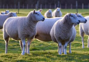 Alan West - Sheep