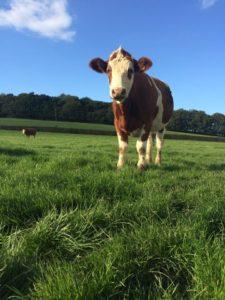 cattle-annawickens