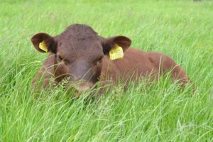 cattle-sussex-in-field-simonwright