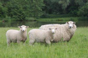 sheep-romney-lousebarr