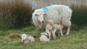 sheep-romney-quads-deborahcox