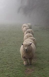 sheep-ryelands-lolatownsend